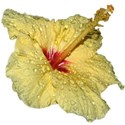 IMG_4112 hibiscus good