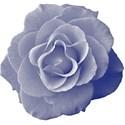 Blue_Rose5