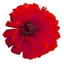 poppy red 03
