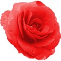 rosey red 01