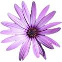 flower-purple