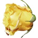 rose bud yellow 2