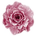 cabbage rose 01