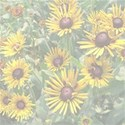 black-eyed-susan background