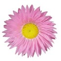 jThompson_pinkDaisy_flower1