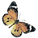 butterfly brown and taqn