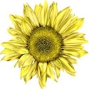 lisaminor_yardwork_sunflower_b