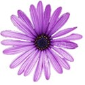 purpleDaisy
