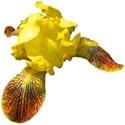 Iris yellow 1
