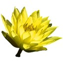 Yellow water lily 1