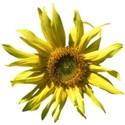 Sunflower aa