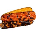 stierney_bountiful_indiancorn