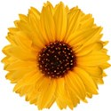 stierney_bountiful_sunflower