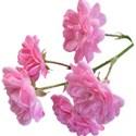 jennyL_dreams_flower4
