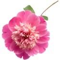 jennyL_dreams_flower3