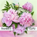 chey0kota_CU Peonies 3_Preplain [blog preview]