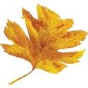 cwJOY-AutumnLove-leaf2